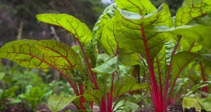 Chard (Safaid Chuqandar): Diet allies and rich in nutrients