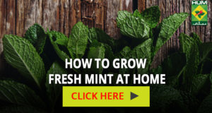 How to grow fresh mint at home | Totkay
